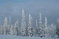 Fichten (koDesign) Tags: schnee snow tree finland nikon finnland lappland lapland finish bäume fichten tannen d300 luosto kaamos nikkor2470f28