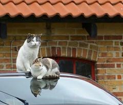 King Tut and his queen (Jaedde & Sis) Tags: reflection car lisbeth tutter barncats challengefactorywinner thechallengefactory herowinner pregamewinner favescontestsweep