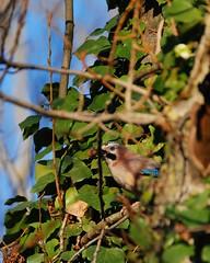 Ghiandaia (DarkAzuma) Tags: natura uccelli animali forlì ghiandaia