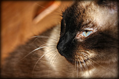Barrymore (Chris C. Crowley) Tags: pet cat feline blueeyes kitty siamese whiskers mycat barrymore chriscrowley celticsong22