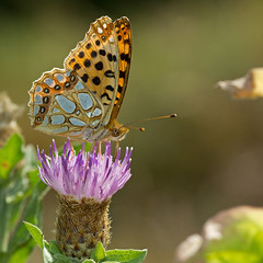 Petit nacr (Issoria lathonia) Queen of Spain Fritillary (Sinkha63) Tags: france macro nature animal butterfly wildlife lepidoptera papillon martel fra insecte faune nymphalidae midipyrnes heliconiinae queenofspainfritillary issorialathonia petitnacr
