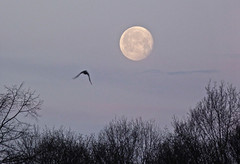 morning moon (nannyjean35) Tags: trees sky cloud moon bird branches twigs