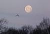 morning moon (nannyjean35) Tags: trees sky cloud moon bird branches twigs