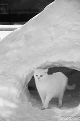 IMGP7321 (MattB.net) Tags: winter bw white snow ice cat kitty kitteh cave hibernate emerge