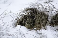 Short-Eared Owl by Chris Langen (clangen625) Tags: snow cold evansville seow shortearedowl shorteared bluegrasswildlife