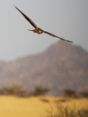 Pallid Harrier in flight (Ingeborg van Leeuwen) Tags: birds inflight circus ethiopia harrier awash nonpasserines circusmacrourus macrourus