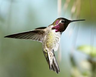 Anna's Hummingbird - male.  Backyard shot - Southern California. --- EXPLORED