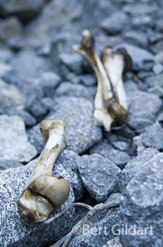 Desert Bighorn Sheep Bones