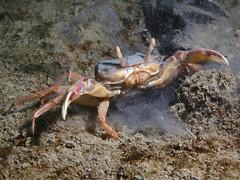 Goneplax rhomboides (Centro Sub Monte Conero) Tags: mar mediterraneo mare centro crab muck conero numana nord sabbia adriatico ancona granchio sirolo benthos rhomboides crostaceo goneplax