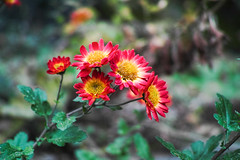 Bloom in the Winter (shinichiro*) Tags: 20130117sdi1482 2013 crazyshin sigmadp2merrill dp2m flower macro winter january atami japan 晴れの日 masterphotos マスター写真 order500 array 8390045651 727042 201703gettyuploadesp