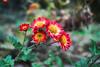 Bloom in the Winter (shinichiro*) Tags: winter flower macro japan january crazyshin array atami 2013 masterphotos 晴れの日 マスター写真 order500 dp2m sigmadp2merrill 20130117sdi1482