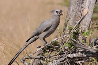 Turaco-cinzento / Grey Go-away-bird