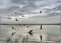 Gulls - Food Time (polis poliviou) Tags: life travel winter sea vacation white lake bird art beach nature water animals speed island grey wings europe flickr mediterranean wildlife seagull gull gulls flight salt natura species dust inland cipro herring badweather costal larnaca polis zypern cypriot larnaka kypros chypre chipre kypr cypr cypern  kipras ciprus exemplaryshots republicofcyprus excellentscenic flickrsbestgroup perfectphotographeraward afiap mediterraneanisland    flickraward poliviou polispoliviou   cyprusinyourheart    sayprus chipir wwwpolispolivioucom yearroundisland cyprustheallyearroundisland polispoliviou2013