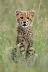Cheetah Cub (hvhe1) Tags: africa wild baby animal cat southafrica cub feline safari bigcat cheetah mala jong gamedrive gamereserve acinonyxjubatus malamala jachtluipaard specanimal hvhe1 hennievanheerden specanimalphotooftheday