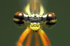 Damselfly Closeup (karthik Nature photography) Tags: color macro nature closeup canon photography eyes wildlife sigma insects flies damselfly macrophotography closeupphotography compoundeyes sigma105mm animalworld insectphotography beautifulbugs damselflyportrait closeupofadamselfly colorfuldamselfly