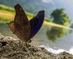 Butterfly, Ba B National Park (vnkht) Tags: blue brown macro fauna butterfly insect lumix nationalpark raw purple wing babe panasonic vietnam 24mm f28 2012 lightroom vitnam lx5 bm bab backan bckn vnqucgia babenationalpark dmclx5 lightroom4 backanprovince vnqucgiabab gavinkwhite