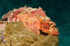on the lookout (BJSmit) Tags: centralvisayas philippines cebu moalboal scorpionfish