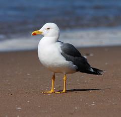 Yellow-legged Gull (flickr quickr) Tags: laruscachinnans yellowleggedgull