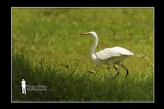 Eastern Great Egret (Ringgo Gomez) Tags: nikon80200mm flickrsbest anawesomeshot flickraward malaysianphotographers elitephotography nikond700 perfectphotographer batterthangood sarawakborneo corcordians flickraward5 mygearandme