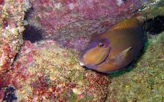 Peixe Cirurgião (Carlos Costabile) Tags: sea fish beach island mar turtle mergulho dive crab tortuga tartaruga moray peixes arraialdocabo tartarugamarinha moréia nudibrânquio carloscostabile