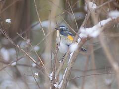 (Polotaro) Tags: bird nature pen olympus  zuiko ep1       fzuiko300mmf45