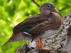 Mandarinente 160713-1105 _Charlottenburg_SOOCx_ (Pixel-Cat) Tags: ente mandarinente duck aix vogel wasservogel bird aves olympus omd em5 sooc mzuiko75300mmf4867ii