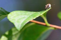 egohigenagazoufm_16716a (takao-bw) Tags: japan insect beetle weevil coleoptera 昆虫 甲虫 fungusweevil エゴヒゲナガゾウムシ ヒゲナガゾウムシ