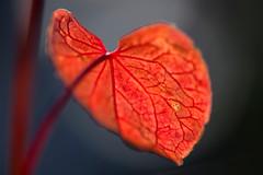 """Buckwheat Leaf"" (helmet13) Tags: d800e raw flora leaf plant fagopyrumesculentum buckwheat red leafveins selectivefocus bokeh nature macro aoi heartaward peaceaward"