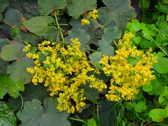 Frauenmantel - lady's mantle (Sophia-Fatima) Tags: mygarden frauenmantel ladysmantle stauden meingarten genusalchemilla