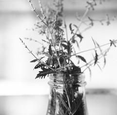 (laura_rivera) Tags: film yashicamat124g yashica44 yashica filmcamera 120film tmax tmax400 kodak laurarivera mediumformat 4 closeup closeuplens macromondays flower sage flowersinblackwhite 6x6
