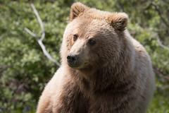 Grizzly Bear (terrylaws526) Tags: alaska2016 grizzlybear mammals wildlife