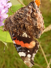 x P2530103c Red Admiral .. feeding on Buddleia .. (Erniebobble::) Tags: erniebobble 2016 nature newforest wildlifegarden wildlife butterfly wings lepidotera bct colours edge education study portrait textural shape summer suspended feeding green environment ecosystem biodiversity balance harmonious peaceful gentle restful tranquil transient fleeting metamorphosis climate endangered pollination nectar secretworld painting pattern surface art above weather ephemeral biomarkers changing chrispackham garden transition