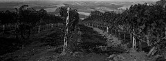 Closer to Paradise (Maria Reverberi Studio) Tags: monochrome film italy pienza travel vineyard wine landscape analogcamera