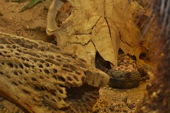 Gila monster (Heloderma suspectum) _DSC0005 (ikerekes81) Tags: gilamonster helodermasuspectum gilamonsterhelodermasuspectum gila monster heloderma suspectum reptile reptilediscoverycenterzoonationalnational rdc reptilediscoverycenter washingtondczoo washingtondc washington dc dczoo zoo zoosmithsonian smithsoniannationalzoologicalpark smithsonian smithsoniannationalzoo national nationalzoo nikond3200 nikon d3200 18105mm sb700 istvan istvankerekes ik kerekes