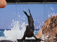 Flipper Stand (SamJWilsonPhotography) Tags: samwilsonpics sjwpics sjw sky stream sun shine water splash ripple pool swimming closeup sunset sea lions sealion seals whiskers flippers synchro jump nose face streamlines flipper stand flipperstand ball jumping swim tail tails 2