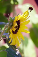 LANDING (fabrizio6ilconte) Tags: bees nature sunflower home