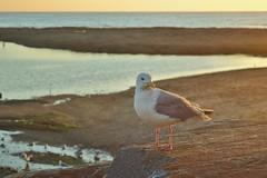 Goland au soleil couchant (Kaynione) Tags: ocan coucherdesoleil plage soir crpuscule goland mouette sable mer oiseau