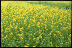 Canola Flower 2016 (Shizuho (41style)) Tags: 2016 flower  aria 35mm