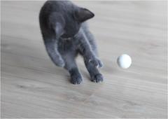 IMG_2507 (murkla_la) Tags: cat russianblue moussie gray graycat