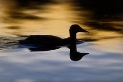 'Duck Division' (Jonathan Casey) Tags: duck nottingham ironmongers pond nikon d810 400mm f28 vr