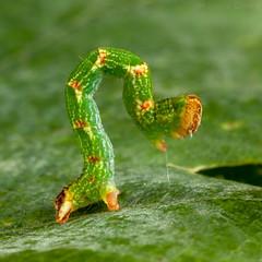 Photo of Maiden's Blush (Cyclophora punctaria) 17mm larva - green form.