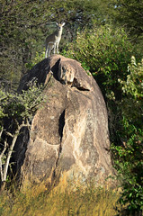 PWS_6717 (paulshaffner) Tags: dorobo safaris dorobosafaris serengeti safari studyabroad education abroad tanzania penn state pennstate biology pennstatebiology