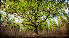 Paavolan Tammi (Edgar Myller) Tags: saara paavolan tammi old oak vanha years 400 500 ikinen puu tree branches branch oksa oksat syksy fall autumn green little people ihmiset pariskunta selfie lohja finalnd