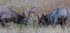 Elks Games (E.K.111) Tags: topazdenoise canon5dmarkiii tele lowlightphotography nature nationalpark animals freedom freeanimals outdoors wildlife