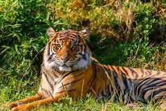 Sumatran tiger (Panthera tigris sumatrae) (dschultz742) Tags: 08242016 d810 pointdefiancezoo sumatrantiger nikon nikonsigma sigma animal pantheratigrissumatrae