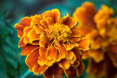 20160827-DSC_2932 (Vighnaraj Bhat) Tags: nikon d750 nikkor105mmf28gvr bokeh fullframe yellow flower closeup macro beautiful depthoffield bokehlicious beyondbokeh theunforgettablepictures dof