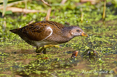 Spotted Crake img1(of 4) (Alan-Bryant) Tags: spottedcrake crake rail rare rarebird bird avian canon 1dmkiv 500 500f4