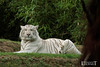 Tigre blanc - Zoo La Fleche - 20160817 (0919) (laurent lhermet) Tags: sel55210 zoo zoodelafleche tigre tigreblanc