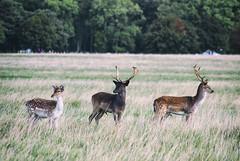 Oh Deer: Phoenix Park, Dublin, Ireland (ciarndoyne) Tags: dublin ireland sunday september morning deer football soccer grass nikon nikond3100 d3100 vsco vscocam cam phoenixpark park