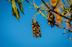 DSC_1109 edited-109 (pattyg24) Tags: horiconmarsh maple tamron200500mm wisconsin nature plant summer tree